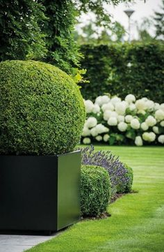 boxwood, white hydrangeas and lavender. boxwoods a little to sculpted