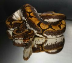Ballpython Calider from PR Reptiles