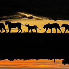 A photographer has travelled around Africa for six years to capture striking silhouettes of lions, giraffes and birds. Marc Mol took the series of pictures in various areas of Africa; including Botswana and Kenya to Tanzania and Zambia. Whether grazing, hunting or resting, the animals' daily activities are transformed into something majestic when cast against golden evenings and pink dawns. Picture: Marc Mol / Barcroft Images #lion #lions #wildlife #wildlifephotography #nature…