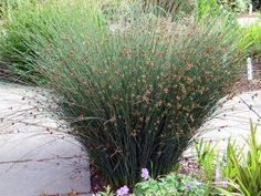 juncus patens | Grey Rush.  Grows about anywhere.  Great structural plant.  CA native