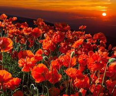 welcome to Viktoria's Pictures - Flowers/ Plants, and Gardens Great Photos, New Pictures, Champs, Remembrance Poppy, Enjoy The Ride, Memorial Flowers, Sunset Wallpaper, Love Flowers, Poppy Flowers