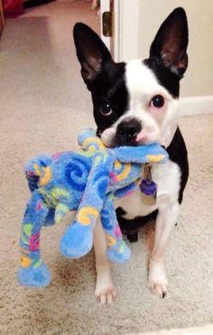 Boston Terrier Playtime