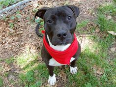 TO BE DESTROYED 6/26/14 Manhattan Center -P  My name is JOKER. My Animal ID # is A1002926. I am a male black and white pit bull mix. The shelter thinks I am about 2 YEARS   I came in the shelter as a STRAY on 06/12/2014 from NY 11203, owner surrender reason stated was STRAY.