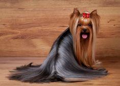 297 Best Yorkies Puggles Images In 2019 Cute Baby Dogs Cute