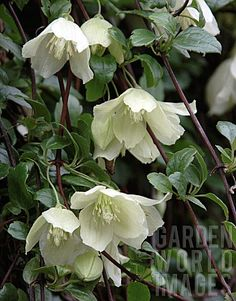 Clematis cirrhosa 'Wisley Cream' is a large evergreen climber with divided, lobed and toothed glossy dark green leaves which are bronze in winter, and nodding pale cream flowers to 8cm across, in late autumn, winter or early spring. Good silky seedheads. This winter-flowering clematis is perfect for training over a pergola, doorway or arch, in a sunny, sheltered site. blooms from November to March, zone 7-9