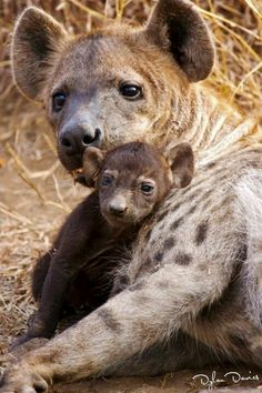 Hyena and cub (by Dylan Davies)