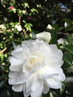 Camellia's are in bloom up and down the mountain