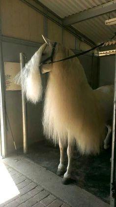 Beautiful horse mane - Pferde - Welcome Haar Design Funny Horses, Cute Horses, Funny Animals, Cute Animals, Most Beautiful Horses, All The Pretty Horses, Beautiful Beautiful, Horse Pictures, Animal Pictures