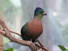 Purple-crested Turaco (Tauraco porphyreolophus) At San Diego Zoo.