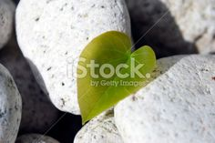 Love Heart Shaped Leaf on White Rock Background Royalty Free Stock Photo Rock Background, Closer To Nature, Image Now, Nature Photos, Love Heart, Heart Shapes, Royalty Free Stock Photos, Eco Green, Leaves