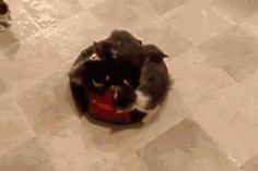 Kittens on a roomba, losing some along the way.