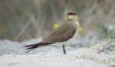 ♫ Canastera Común - Escucha la voz del pájaro