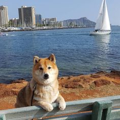 A beautiful sunny day in Hawaii.  #shibainu #shiba #ocean #hawaii #diamondhead #nature #smile #love #cute #like #instagood #doge