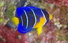 Juvenile Queen Angelfish, Holacanthus ciliaris. Grand Cayman Island, Cayman Islands. One of the most beautiful of Caribbean fishes, changes ...