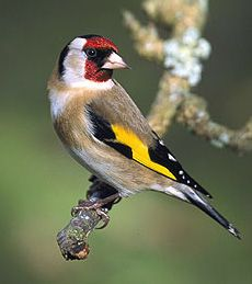 Goldfinch - Norfolk Wildlife - Iceni Post Magazine for Norfolk and Suffolk: News, Events, Art, Theatre, Wildlife, Business, Health and Wellbeing, Sport