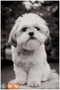 Edie on stool black and white. #shihtzu #edie #puppy Photo by Lindsay Malachowski
