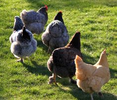Saturday in the garden – Sunshine, spring clean-up and our chickens