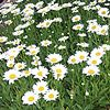 'Becky' Daisy : deserves a place in every garden. It bears bright white flowers with cheery yellow centers from midsummer to fall. Strong stems make this daisy among the best for bouquets, too.