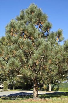 California Coulter Pine - Google Search