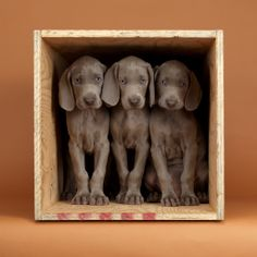 We're putting together the 15th annual William Wegman: Puppies calendar, and need your help! Vote for your favorite image by repinning it by Sunday, 6/29 at 11:59p. The top three images will move on to the next round of voting on Facebook (on.fb.me/1jE5APR), for a chance to be on the cover of Puppies 2016!