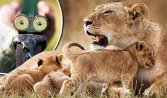 Heartbreak as lioness and two young CUBS SHOT DEAD