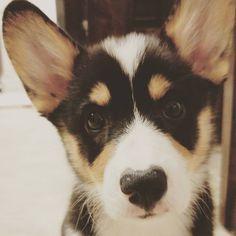 "Tri Color Corgi Puppy Moose the Corgi Instagram  ""I iz hypnotized by da camera....  #corgi #puppy #corgination #corgicommunity #corgparents #hello #puppyeyes #instapet #instadaily #instalike #dog…"""