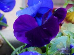 Winter flowers - Pansies