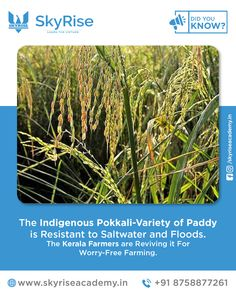 The Indigenous Pokkali-Variety of Paddy is Resistant to Saltwater and Floods. The Kerala Farmers are Reviving it For Worry-Free Farming. Civil Service, Online Coaching, Kerala, Farmers, Did You Know, No Worries, Herbs, Plants, Free