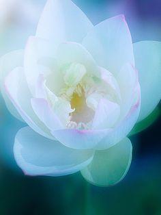 Softly opening lotus