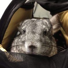 What's True Love, Show Me What, Chinchillas, Special Needs, Love Of My Life, Clinic, Sick, Pets, Animals