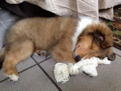 3 month old Sheltie pup - I remember when my Codie was this small! ❤️