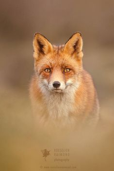 Red Fox by Roeselien Raimond on 500px