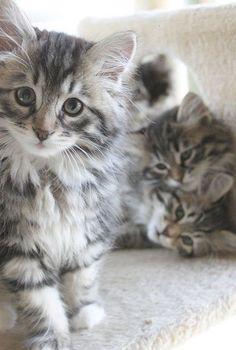 best images ideas about siberian kitten - most affectionate cat breeds