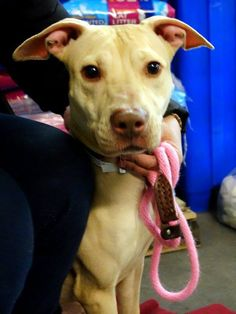 TO BE DESTROYED FRI,2/21/14-  Manhattan Ctr -P DIAMOND  A0991663 female tan pit mix  2 YRS. She was a family dog who happily shared  her life w/ many kids. Said to be loving, playful, welcoming of all and knows most commands. Confused & wary as to why she's in the shelter w/o her family.  Diamond needs our help, here at the care center but mostly yours…..A home sweet home, a loving master or family, a good meal or two and the promise to be cared for and cherish for many years to come.