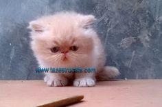 Kitten Persia ( Adopted ) Anak kucing persia atau kitten persia Available Kitten Persia atau anak kucing persia yang siap diadopsi Jenis Kelamin : Jantan Warna : Bicolor Red and White Date Of Birth : 10 November 2013 Silahkan hub ...