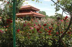 La raccolta delle rose http://nicolettafrasca.wordpress.com/2014/06/16/rose-festa-raccolta-bulgaria/