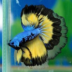 If you're like me and have a enthusiasm for freshwater aquariums, then you have considered integrating Betta fish. I am positive you've discovered how Bettas are and they may be. Another reason would be your freedom to select plenty of patterns or colours to fascinate admirers having an aquarium. They're thought of one of the freshwater fish. These are the most Frequent Kinds of Betta fish: PLAKAT BETTA FISH, CROWNTAIL BETTA FISH, DOUBLE TAIL BETTA FISH, COMBTAIL BETTA FISH, ROSETAIL BETTA…