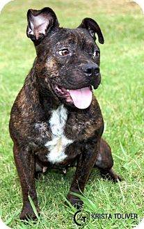 Dallas, TX - American Pit Bull Terrier Mix. Meet Applejax, a dog for adoption…