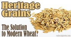 Wheat has been so hybridized and overprocessed that it has become a hazard to health. REAL wheat, however, is a powerful source of healthy nutrition. Learn about heritage grains that can benefit everyone, not just the gluten-intolerant.