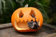 Bat In A Pumpkin Pictures, Photos, and Images for Facebook, Tumblr, Pinterest, and Twitter