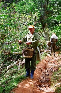 Coffee Pickers, Topes de Collantes, Cuba Copyright: Declan Alcock