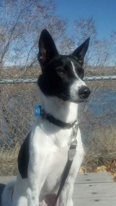 Black And White Canaan Dog