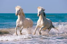 Two white camargue horses running in surf on beach provence france kimballstock