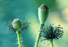 Poppy by Mycatherina #nature #photooftheday #amazing #picoftheday