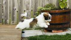 Flying Juno, Shih Tzu puppy mid flight