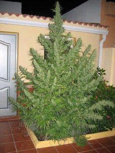 Tiempos de crisis = Tiempos de cultivos de marihuana - http://growlandia.com/marihuana/tiempos-de-crisis-tiempo-de-cultivos-de-marihuana/