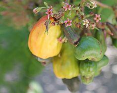 cajueiro (Anacardium occidentale)