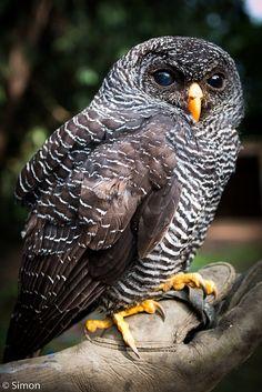 wingedpredators:  Flo, Black Banded Owl (Photo by Simon Jenkins)