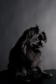 Black Pomeranian.  I love looking at pictures of dogs.