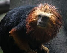 Edinburgh Zoo also has Golden-headed Lion Tamarins Visit Edinburgh, Self Catering Cottages, Animal Paintings, Free Photos, Lion, Animals, Leo, Animales, Animaux
